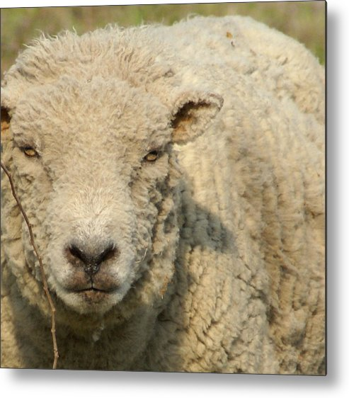 Farm Animal Metal Print featuring the photograph Ramsy - Debbie-may by Debbie May