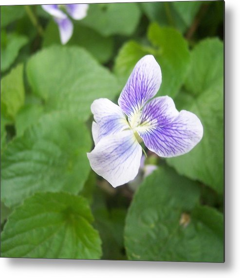 Flower Garden Foliage Purple Violet Close Metal Print featuring the photograph Violet 1 by Anna Villarreal Garbis