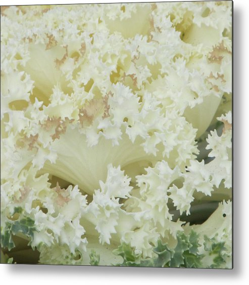 Flowers Metal Print featuring the photograph White Cabbage by Michele Caporaso
