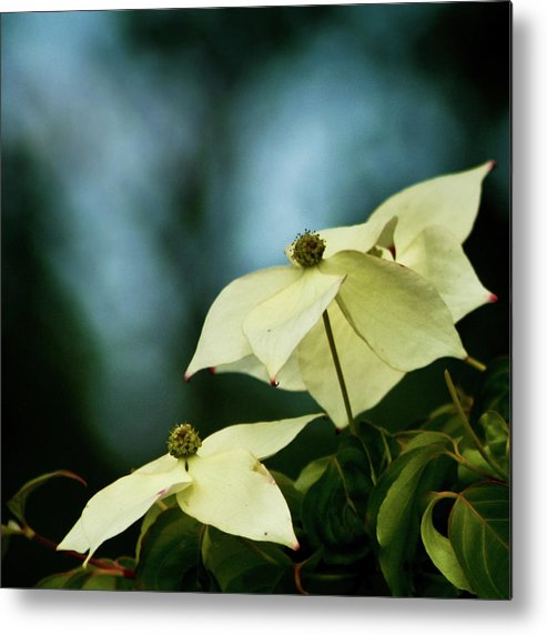 Dogwood Metal Print featuring the photograph Dogwood Flowers In Streaming Blue Light by Robin Frazier