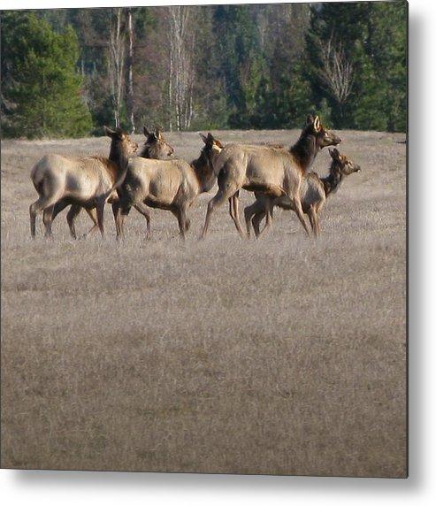 Elk Metal Print featuring the photograph Elk Herd by Robert Bissett