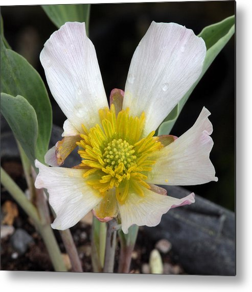 Hellebores Metal Print featuring the photograph Rising Star by Tom Doherty