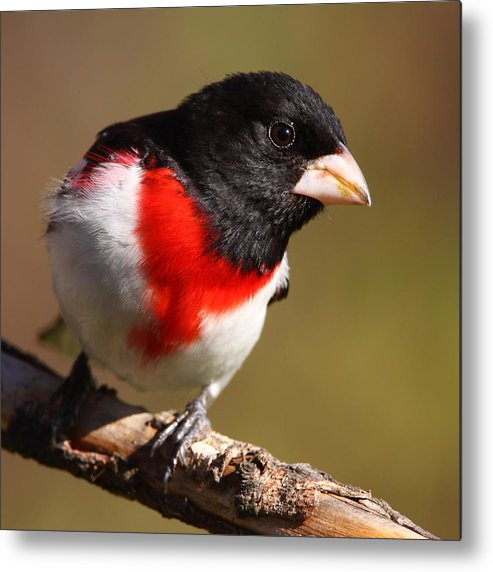 Rose-breasted Grosbeak Metal Print featuring the photograph Rose-breasted Grosbeak Squared by Bruce J Robinson