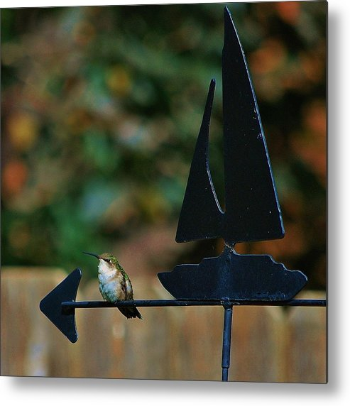Hummingbird Metal Print featuring the photograph Which Way South by Joy Bradley