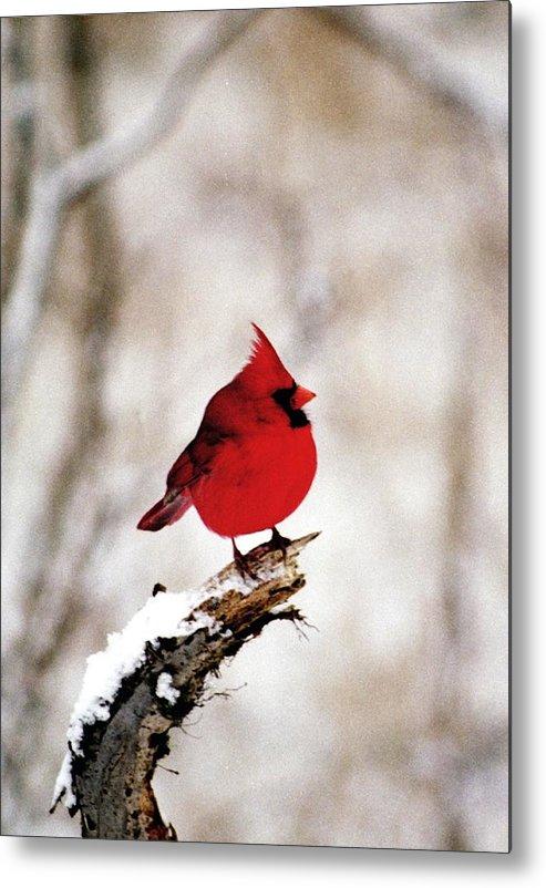 Cardinal Metal Print featuring the photograph 080806-26 by Mike Davis
