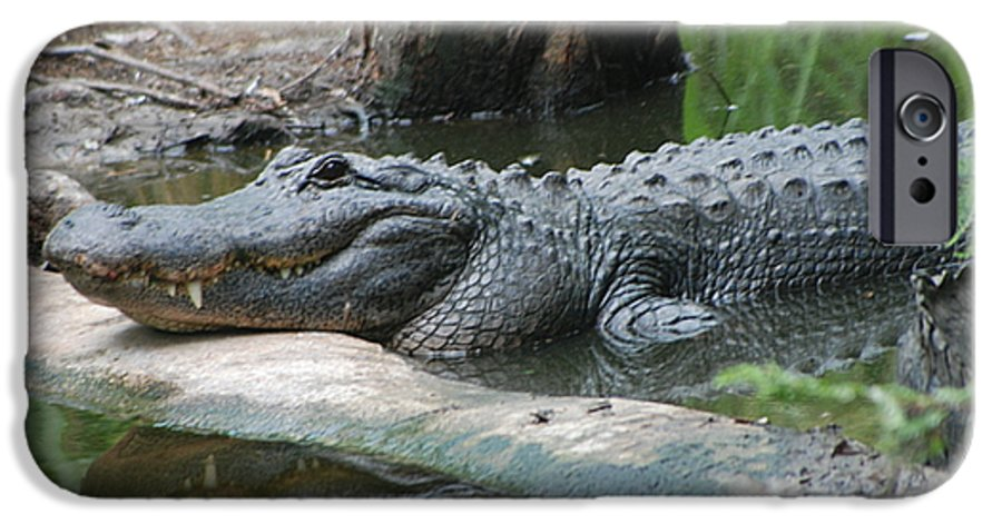 Florida IPhone 6 Case featuring the photograph The Other Florida Gator by Margaret Fortunato