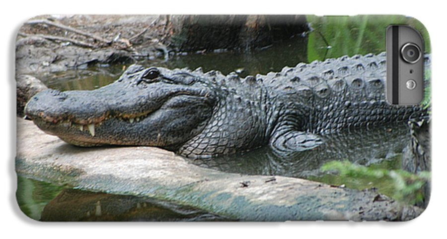 Florida IPhone 6s Plus Case featuring the photograph The Other Florida Gator by Margaret Fortunato