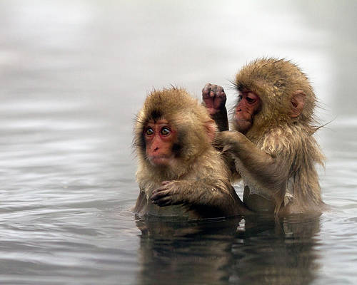 Horizontal Poster featuring the photograph Baby Japanese Macaques snow Monkeys by Oscar Tarneberg