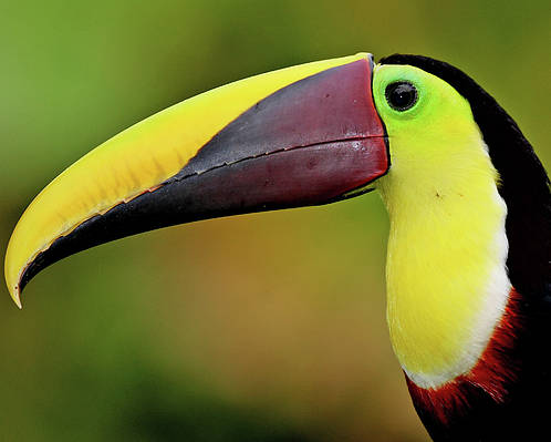 Horizontal Poster featuring the photograph Chestnut Mandibled Toucan by Photography by Jean-Luc Baron