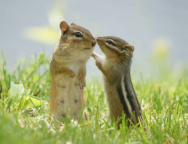 Horizontal Poster featuring the photograph Chipmunks In Grasses by Corinne Lamontagne