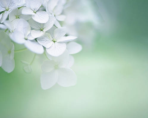 Horizontal Poster featuring the photograph Close Up Of White Hydrangea by Elisabeth Schmitt