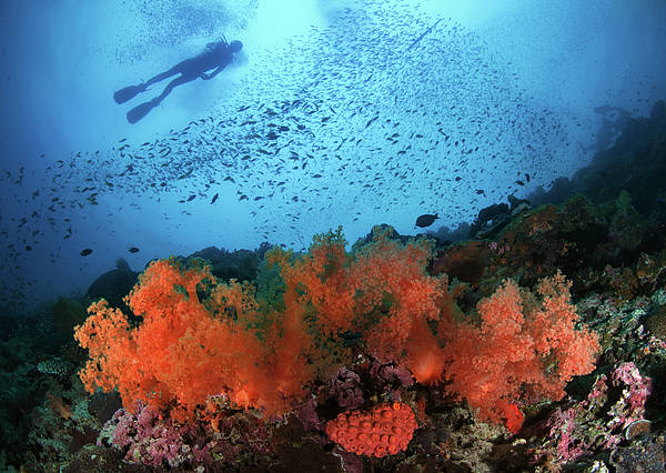 Horizontal Poster featuring the photograph Diver And Soft Corals In Pescador Island by Nature, underwater and art photos. www.Narchuk.com