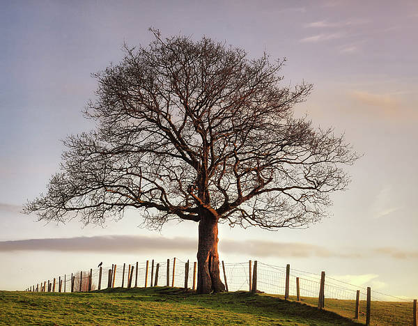 Horizontal Poster featuring the photograph Large Tree by Jon Baxter