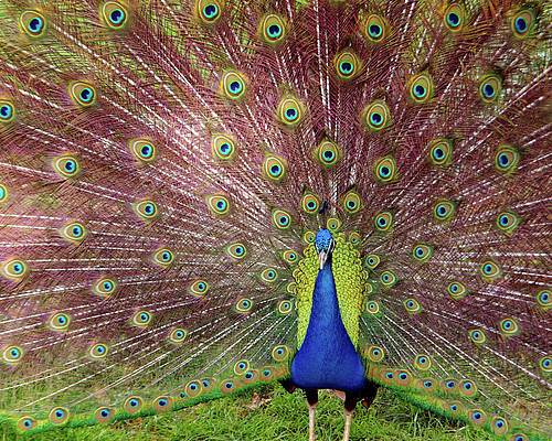 Animal Poster featuring the photograph Peacock by Carlos Caetano