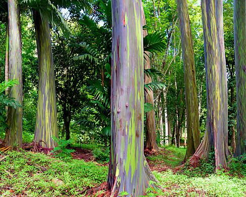 Rainbow Poster featuring the photograph Rainbow Eucalyptus by Monica and Michael Sweet