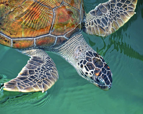 Horizontal Poster featuring the photograph Sea Turtle by Thank you.