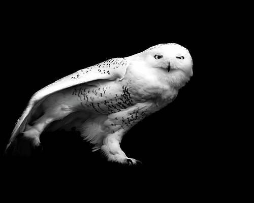 Horizontal Poster featuring the photograph Snowy Owl by Malcolm MacGregor