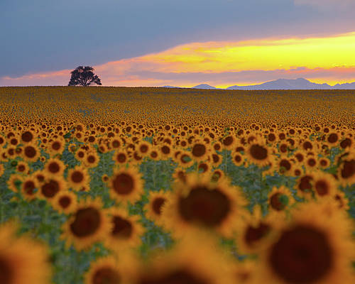 Horizontal Poster featuring the photograph Sunflower Field by Lightvision, LLC