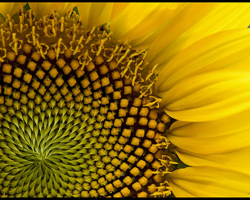 Flora Poster featuring the photograph Sunflower Study by Daniel G Walczyk