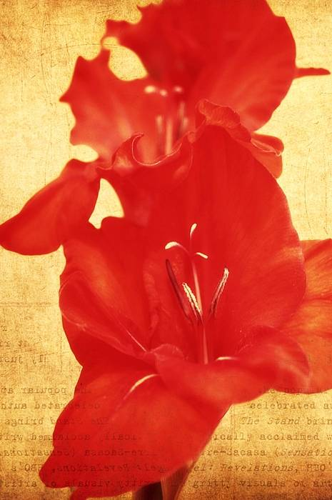 Gladiolas Poster featuring the photograph Gladiola by Cathie Tyler
