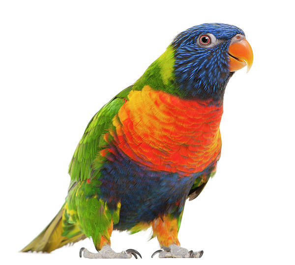 Horizontal Poster featuring the photograph Female Rainbow Lorikeet - Trichoglossus Haematodus by Life On White