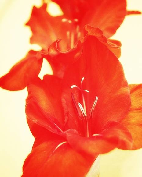 Poster featuring the photograph Gladiola by Cathie Tyler