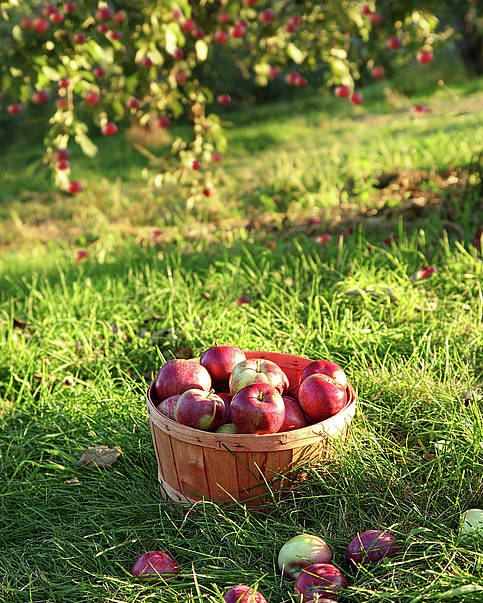 Agricultural Poster featuring the photograph Freshly Picked Apples In The Orchard by Sandra Cunningham