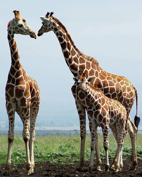 Vertical Poster featuring the photograph Giraffe Family by Sallyrango
