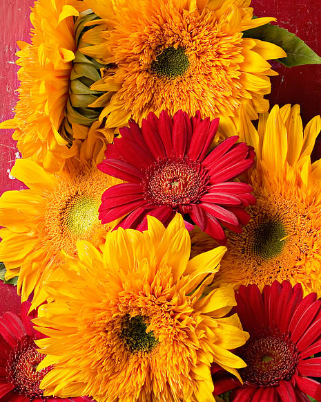 Sunflower Poster featuring the photograph Sunflowers And Red Mums by Garry Gay