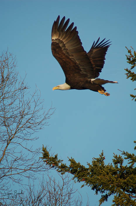Eagle Art Print featuring the photograph Tree Hopping by J D Banks