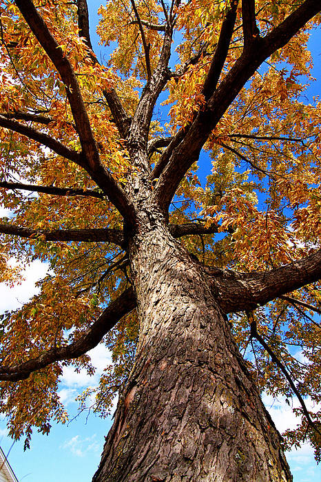 Fall Tree Photograph Art Print featuring the photograph Tall Fall Tree by Charrie Shockey