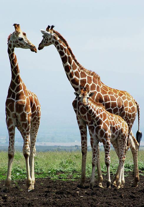 Vertical Art Print featuring the photograph Giraffe Family by Sallyrango
