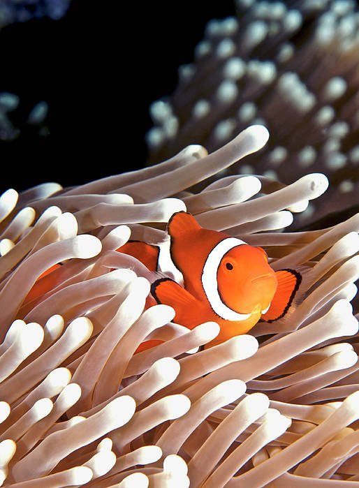 Vertical Art Print featuring the photograph False Clown Anemonefish by Copyright Melissa Fiene