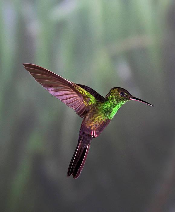 Vertical Art Print featuring the photograph Hummingbird by David Tipling
