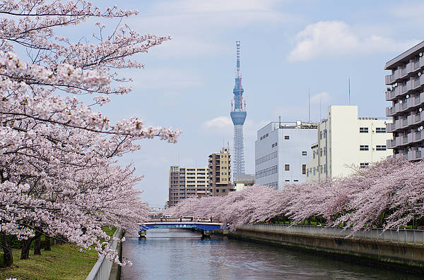 Horizontal Art Print featuring the photograph Cherry Blossom Trees Along River, Tokyo. by I.Hirama