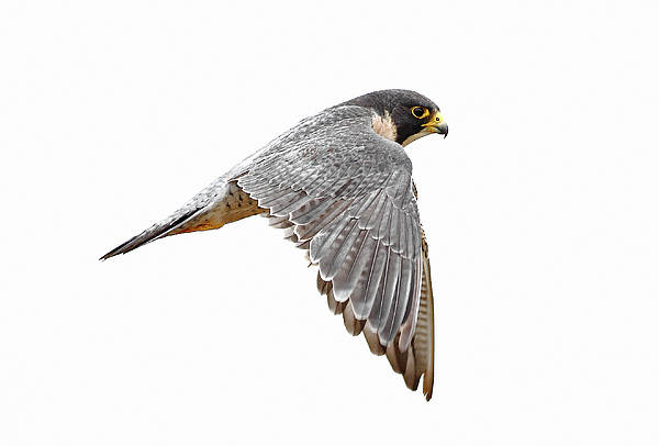 Horizontal Art Print featuring the photograph Peregrine Falcon Bird by Bmse