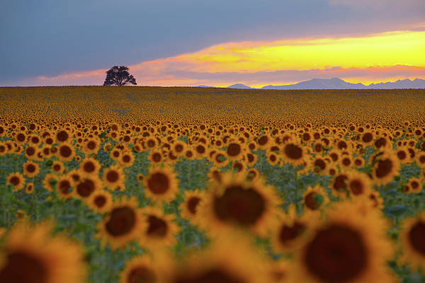 Horizontal Art Print featuring the photograph Sunflower Field by Lightvision, LLC