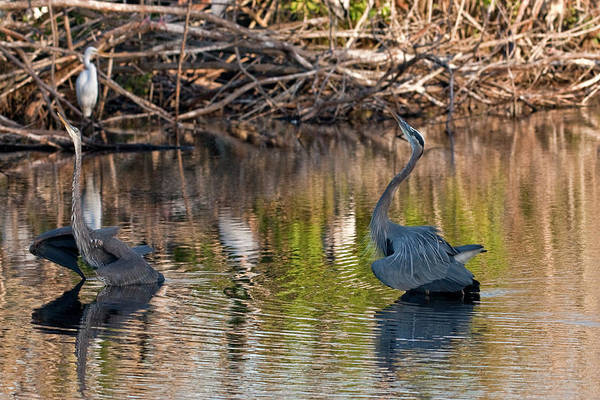 Heron Art Print featuring the photograph The Challenge by Rodney Cammauf
