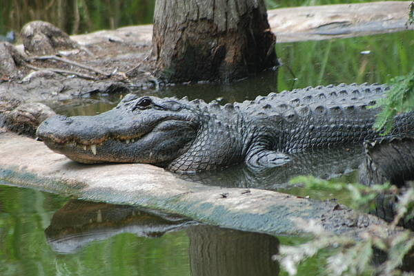 Florida Art Print featuring the photograph The Other Florida Gator by Margaret Fortunato