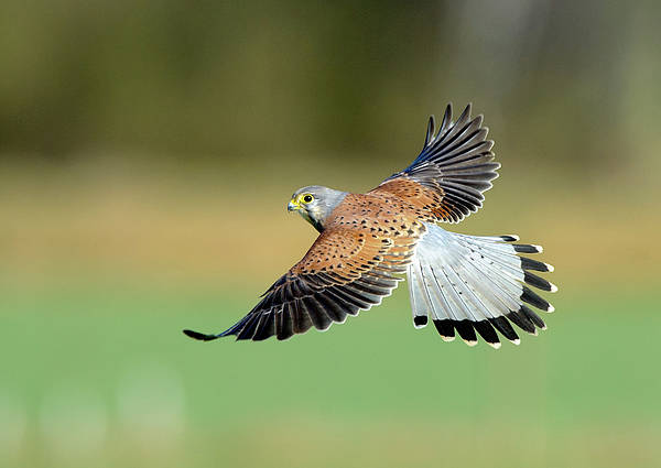 Horizontal Print featuring the photograph Kestrel Bird by Mark Hughes