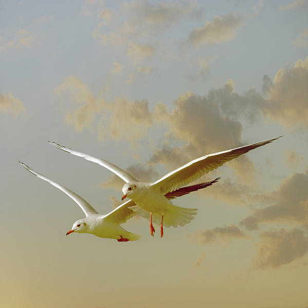 Square Art Print featuring the photograph Two Mediterranean Gulls In Flight by Christiana Stawski