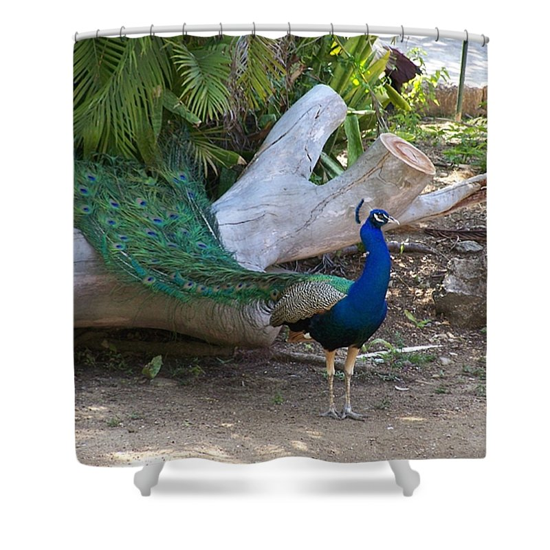 Peacock Shower Curtain featuring the photograph Mr. Sapphire On Alert by Marilyn Holkham