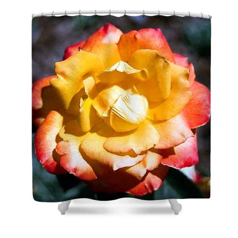 Rose Shower Curtain featuring the photograph Red Tipped Yellow Rose by Dean Triolo