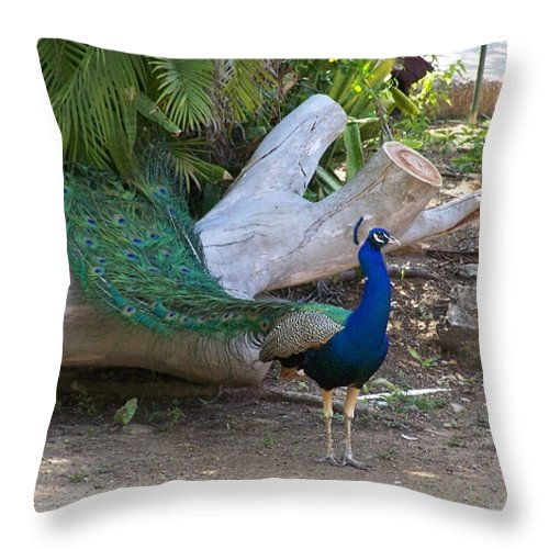 Peacock Throw Pillow featuring the photograph Mr. Sapphire On Alert by Marilyn Holkham