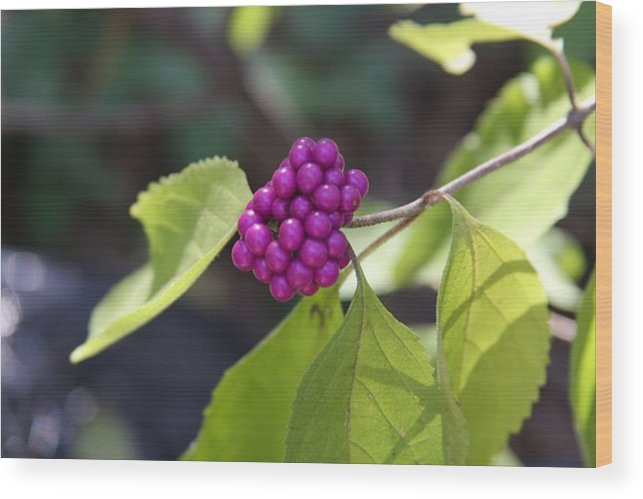 Berries Wood Print featuring the photograph American Beauty by Kenna Westerman