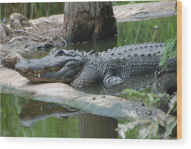 Florida Wood Print featuring the photograph The Other Florida Gator by Margaret Fortunato