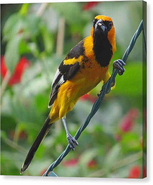 Spot Breasted Oriole Canvas Print