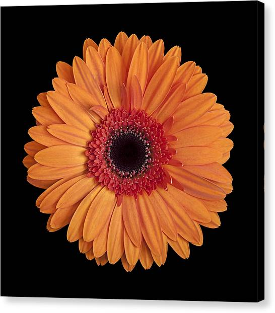Orange Gerbera Daisy On Black Canvas Print