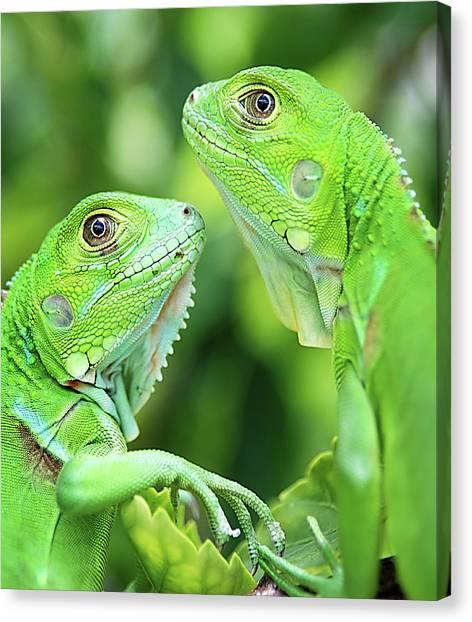 Green Canvas Print - Baby Iguanas by Patti Sullivan Schmidt