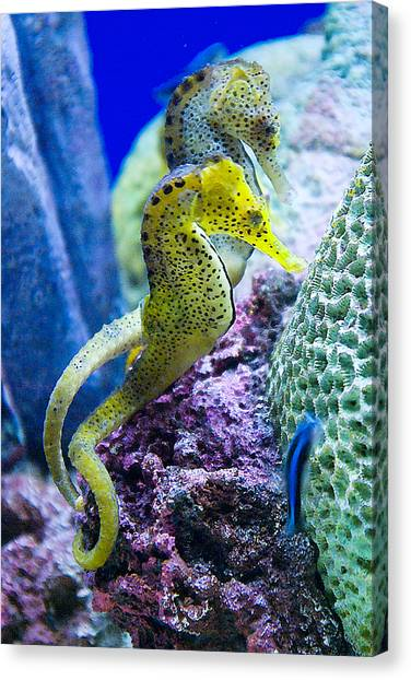 Colorful Seahorses Canvas Print